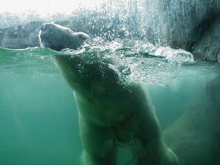 swimmingpolarbear1.JPG
